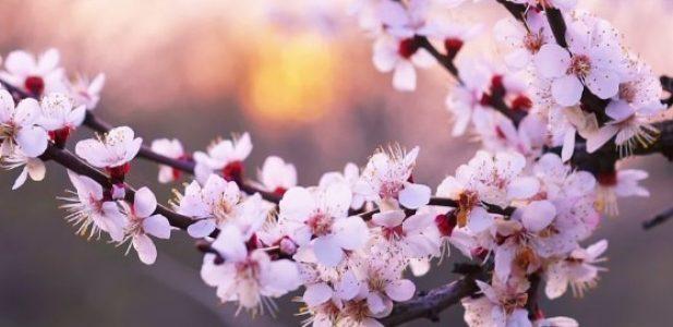 Tak Perlu ke Jepang! di Bukit Sakura Lawu, ada Bunga Sakura